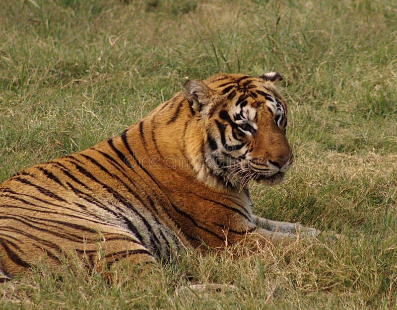 Tigre di Bengala reale immagini stock
