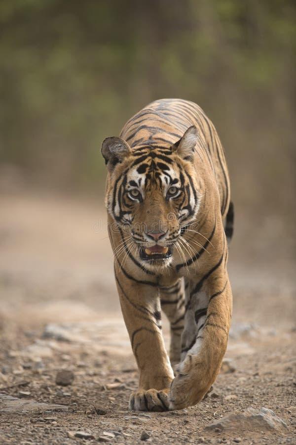 Tigre di Bengala reale fotografia stock libera da diritti