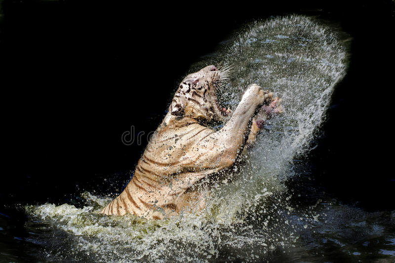 Tigre di Benggal immagini stock