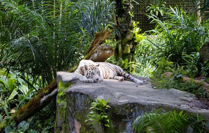 Tigre di bianco del Bengala immagini stock