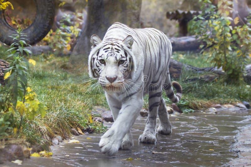 Tigre di bianco del Bengala fotografia stock