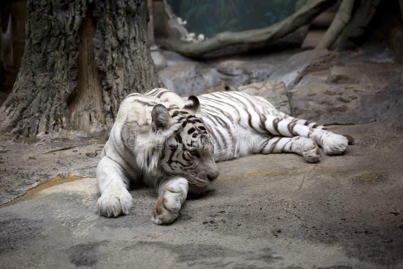 Tigre di bianco del Bengala fotografia stock libera da diritti