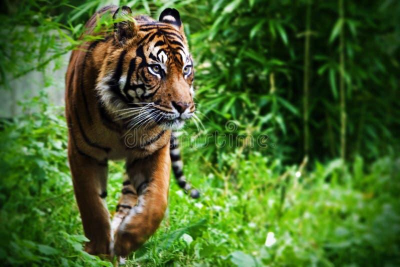 Tigre di caccia fotografia stock