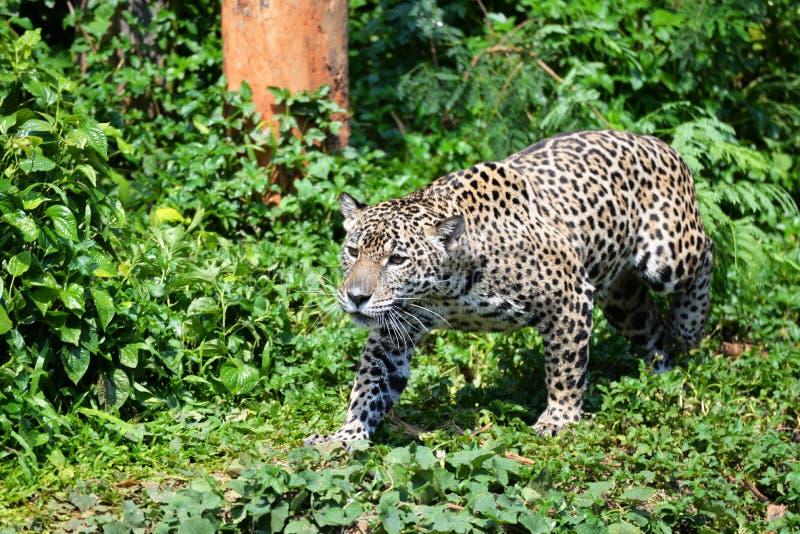 Tigre di caccia fotografia stock libera da diritti