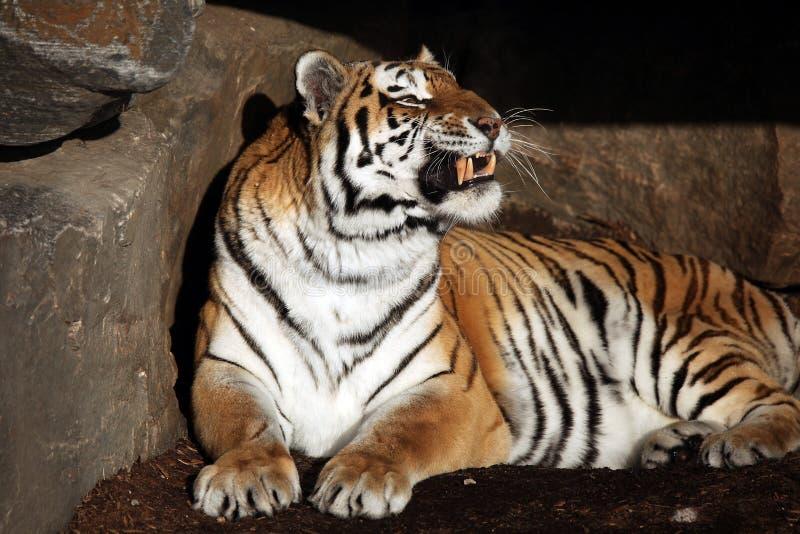 tigre di ringhio fotografie stock libere da diritti