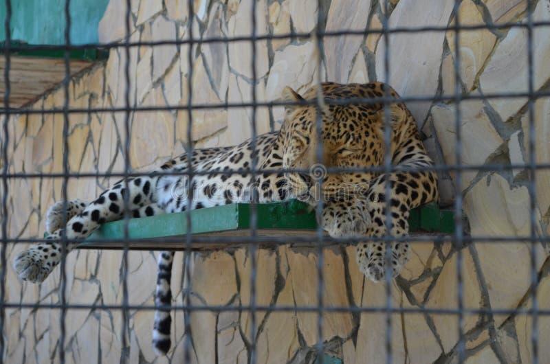 Tigre di sonno dallo zoo russo Taygan fotografia stock libera da diritti