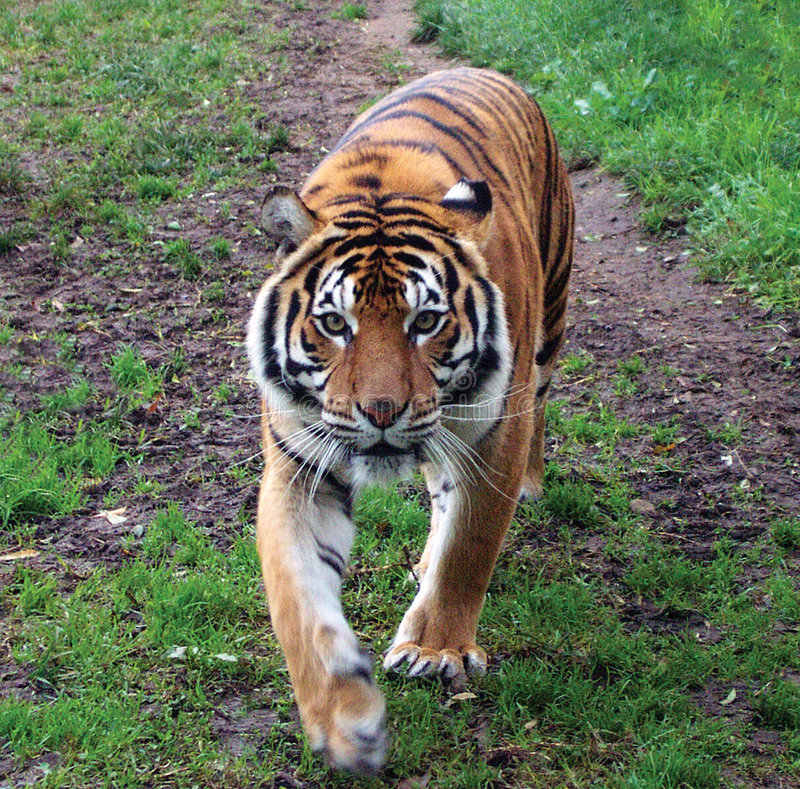 Tigre di Sumatran
