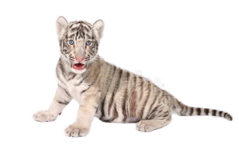 Tigre do branco do bebê foto de stock royalty free