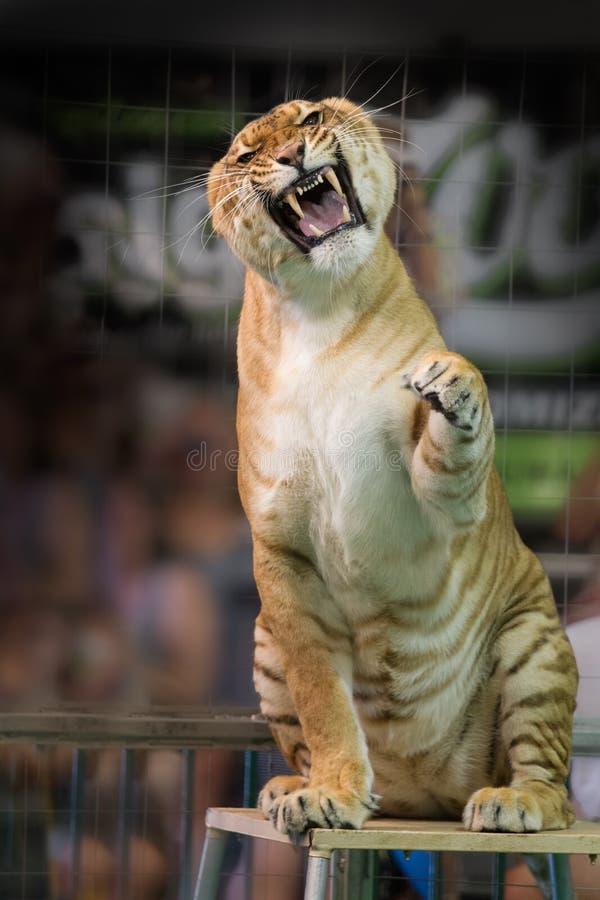 Tigre do circo que grita com a câmera foto de stock