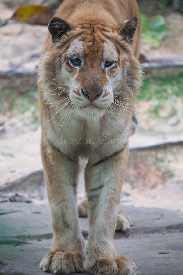 Tigre dorata fotografie stock libere da diritti
