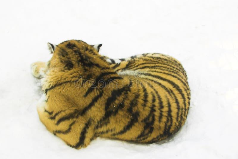 Tigre dormant sur la neige photographie stock libre de droits