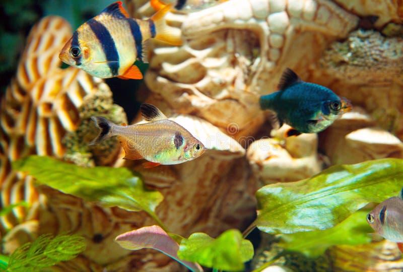 Tigre e freshwa do bentosi farpas e do bentosi verdes de Hyphessobrycon foto de stock