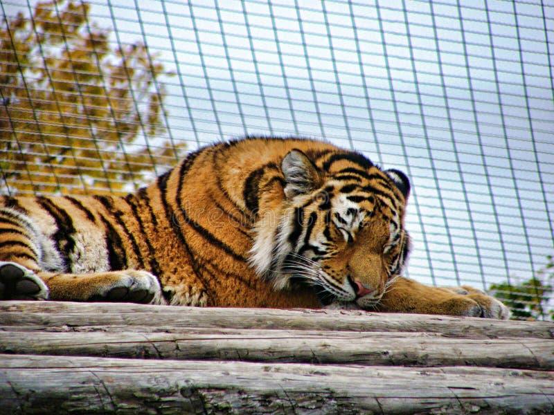 Tigre el dormir en un parque zoológico en Viena Schönbrunn fotos de archivo libres de regalías