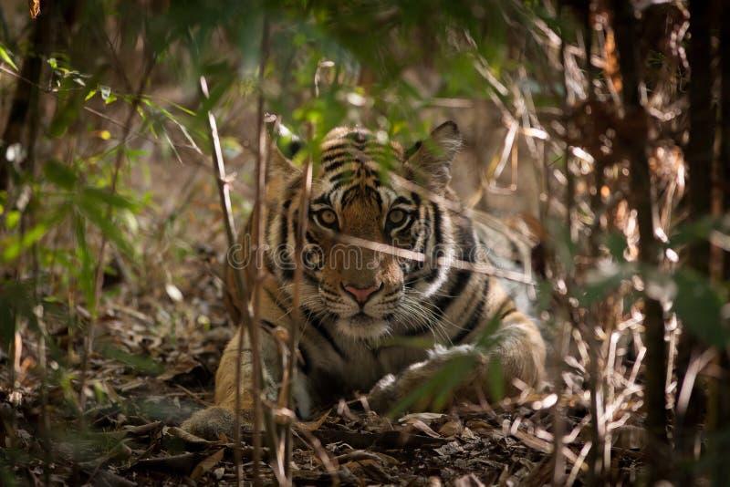 Tigre em Bandhavgarh, Índia imagem de stock