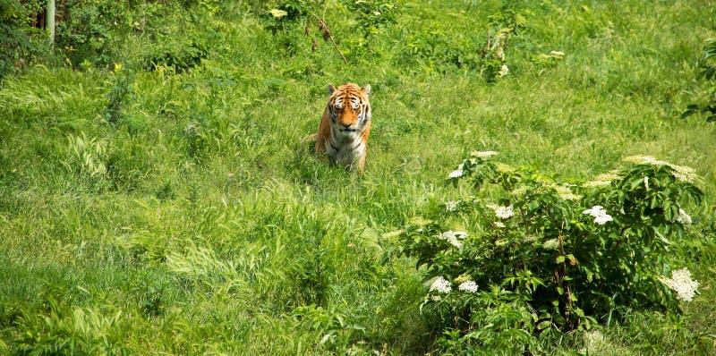 Tigre en campo verde imagen de archivo libre de regalías