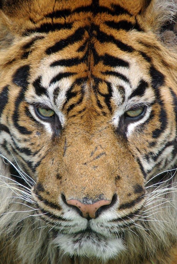 Tigre en el cierre fotografía de archivo libre de regalías