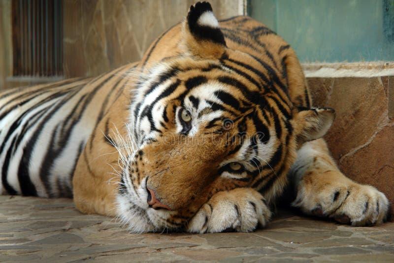 Tigre en el parque zoológico imagen de archivo libre de regalías