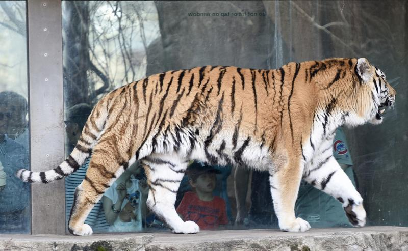 Tigre en el vagabundeo foto de archivo libre de regalías