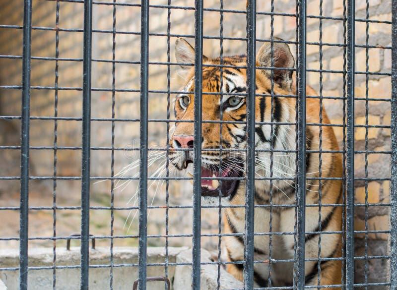 Tigre en jaula foto de archivo libre de regalías