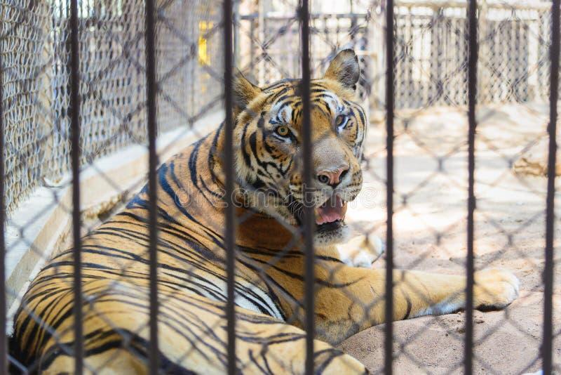 Tigre en la jaula del parque zoológico imágenes de archivo libres de regalías