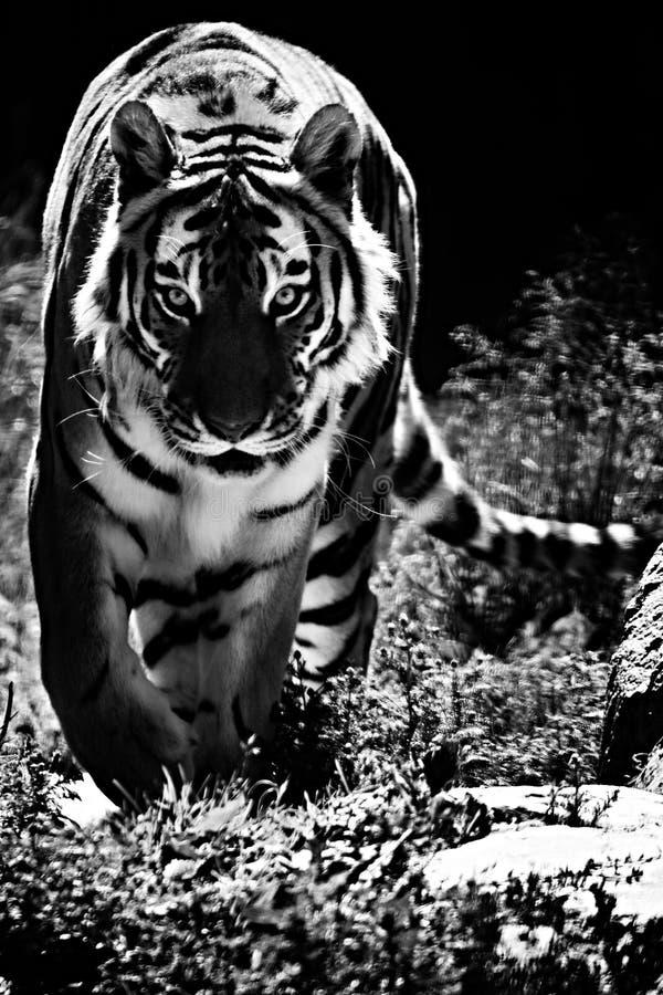 Tigre en la manera fotos de archivo