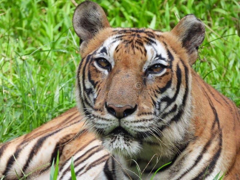 Tigre en la selva imagenes de archivo