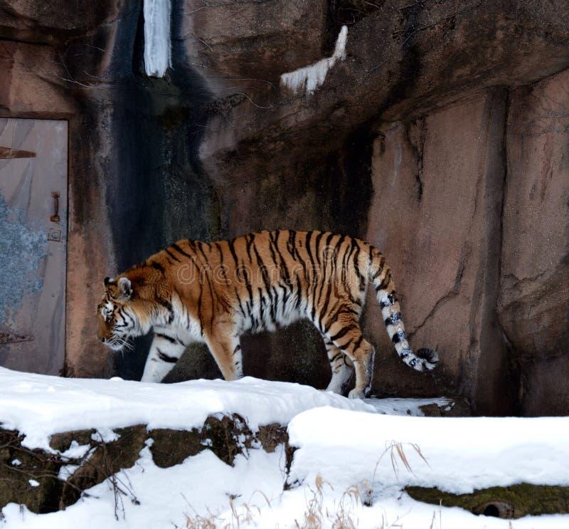 Tigre en nieve foto de archivo