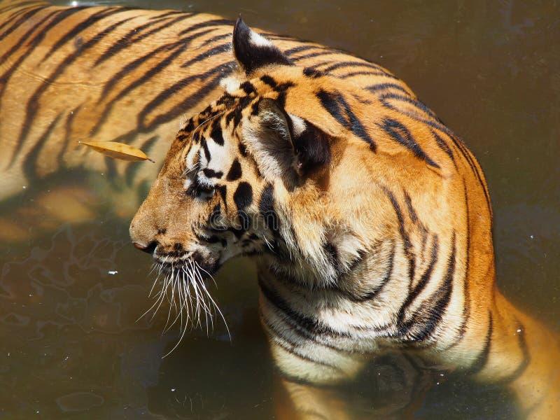 Tigre en parque zoológico imagen de archivo libre de regalías