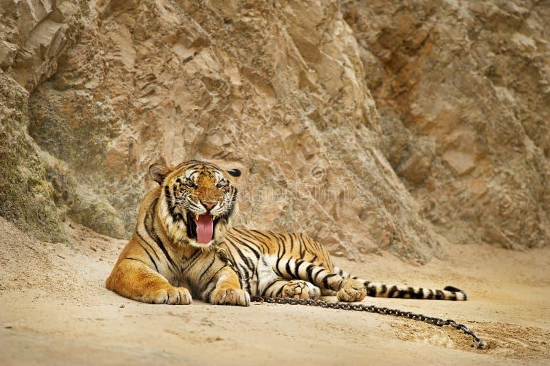Tigre en parque zoológico fotografía de archivo libre de regalías