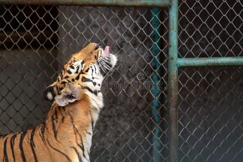 Tigre en parque zool?gico imagen de archivo libre de regalías