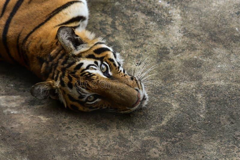 Tigre en parque zool?gico foto de archivo