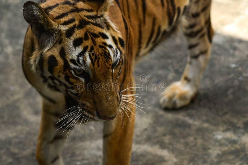 Tigre en parque zool?gico fotos de archivo libres de regalías