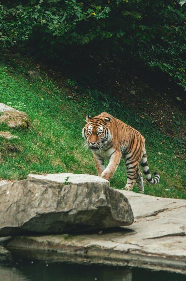 Tigre en un cautivo del parque zoológico imagen de archivo