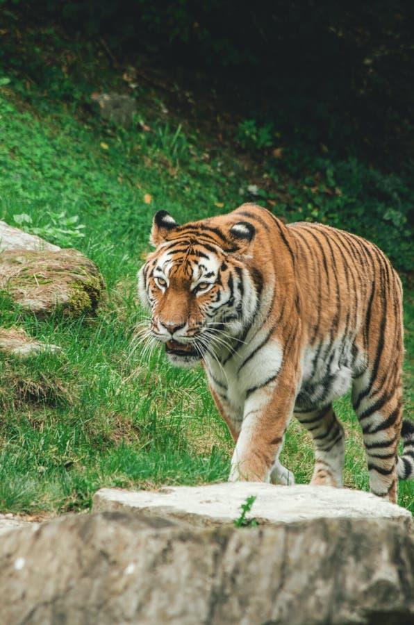Tigre en un cautivo del parque zoológico foto de archivo libre de regalías