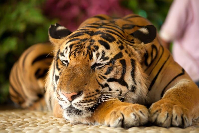 Tigre en un parque zoológico foto de archivo