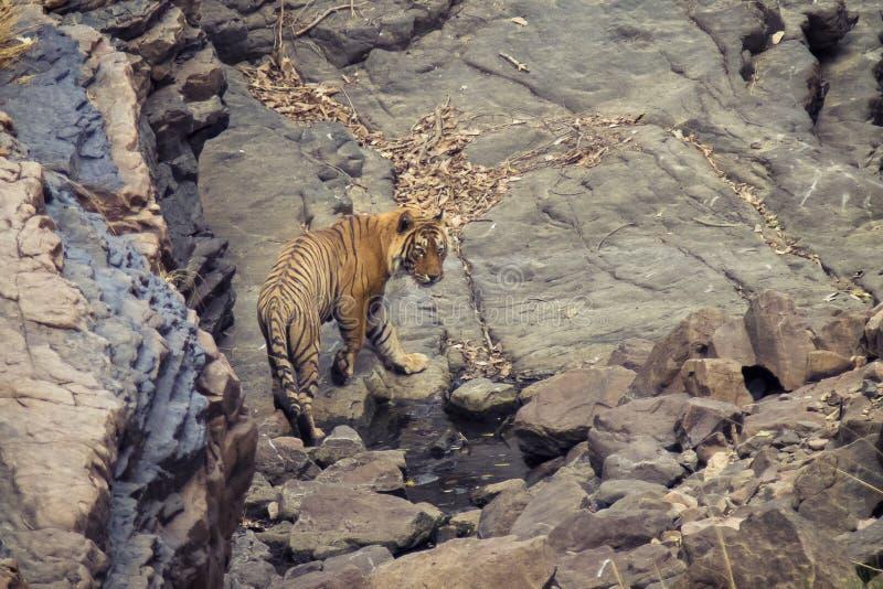 Tigre en un waterhole imagenes de archivo