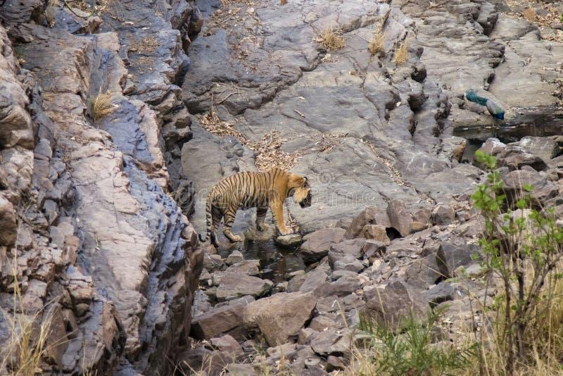 Tigre en un waterhole fotos de archivo