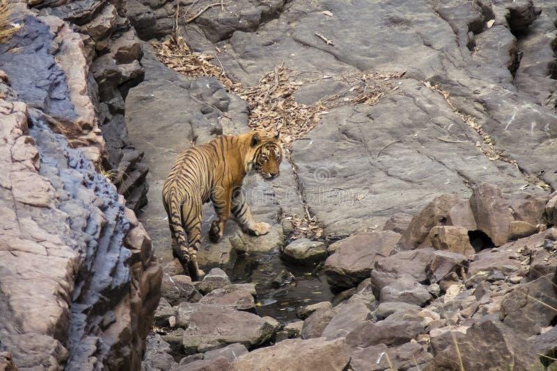 Tigre en un waterhole foto de archivo