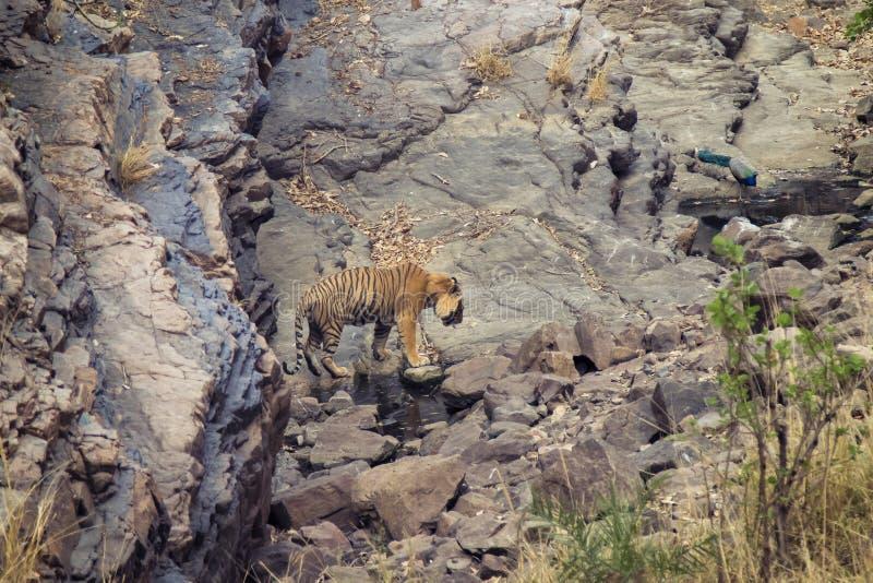 Tigre en un waterhole imágenes de archivo libres de regalías