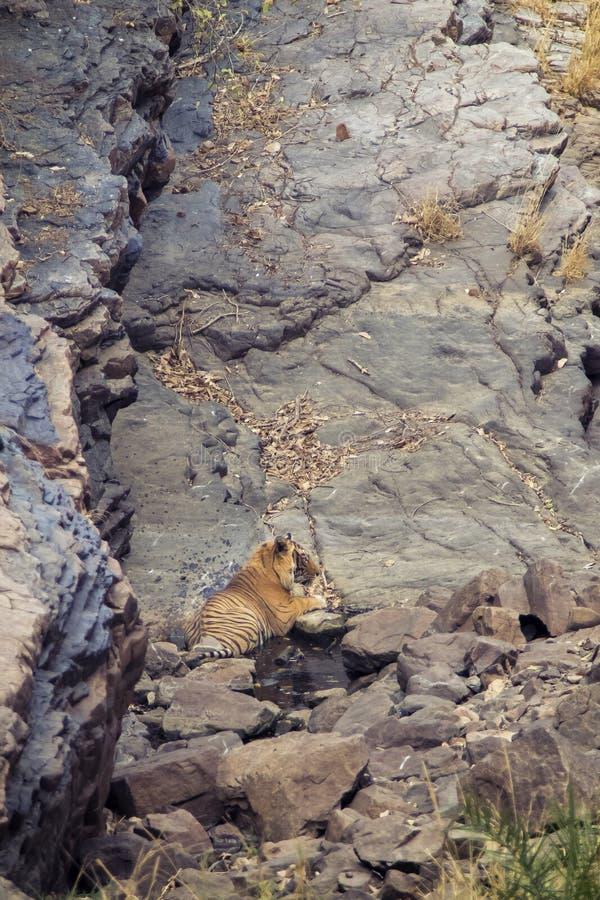 Tigre en un waterhole imagen de archivo