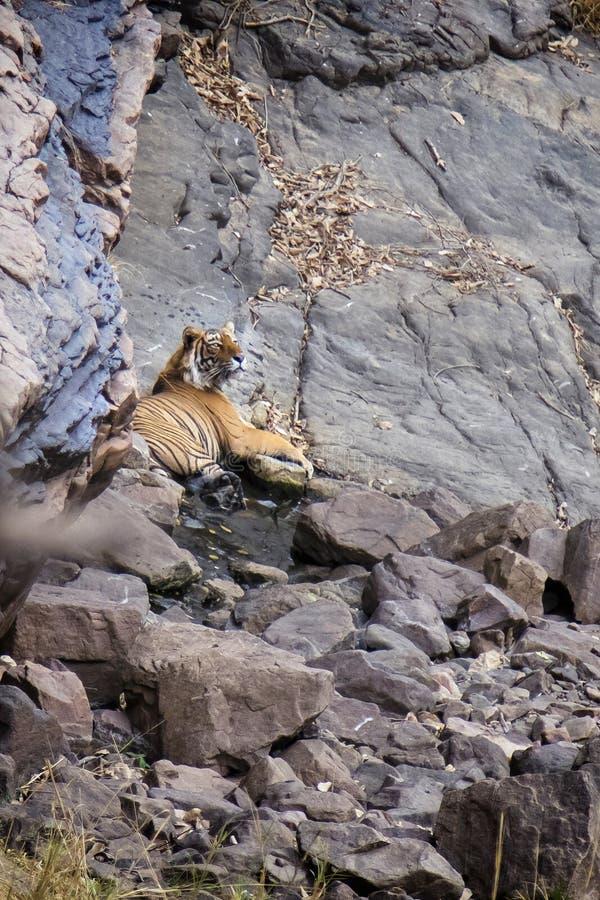 Tigre en un waterhole imagen de archivo libre de regalías