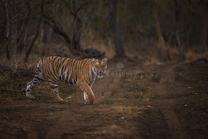 Tigre en vagabundeo foto de archivo