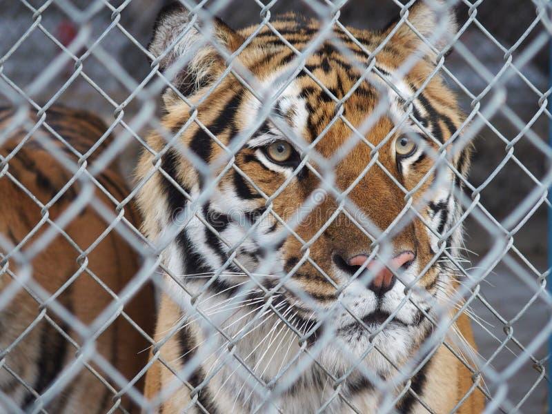 Tigre enjaulado fotos de archivo