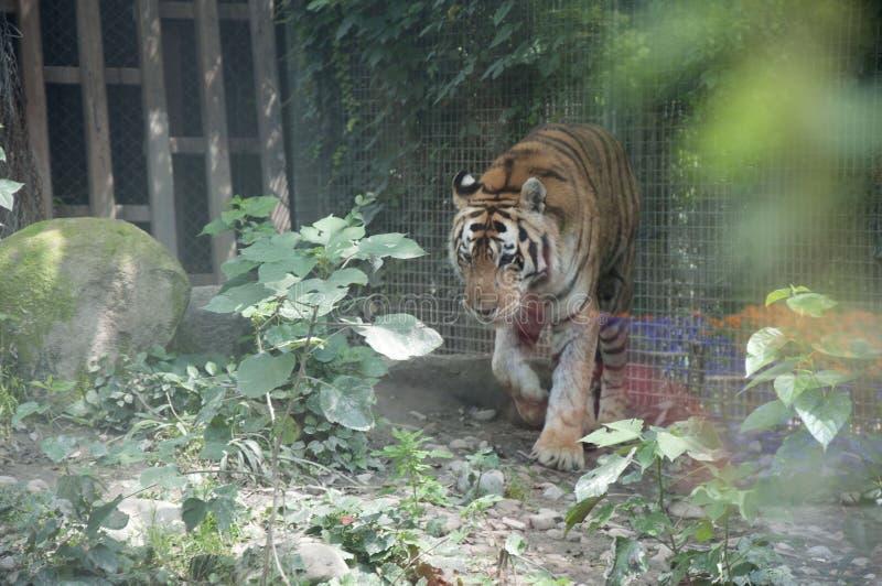 Tigre enjaulado fotografía de archivo libre de regalías