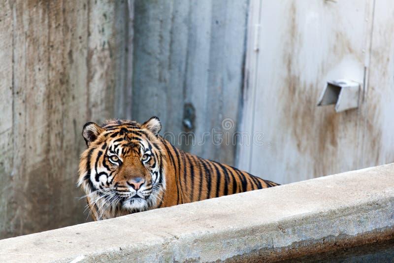 Tigre enojado en el parque zoológico foto de archivo libre de regalías
