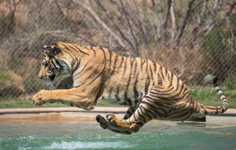 Tigre environ à la terre dans la piscine image stock