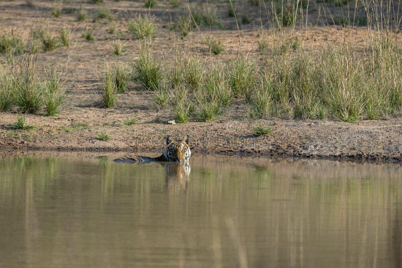 Tigre femenino joven en Waterhole en el parque nacional Madhya Pradesh la India de Bandhavgarh foto de archivo libre de regalías
