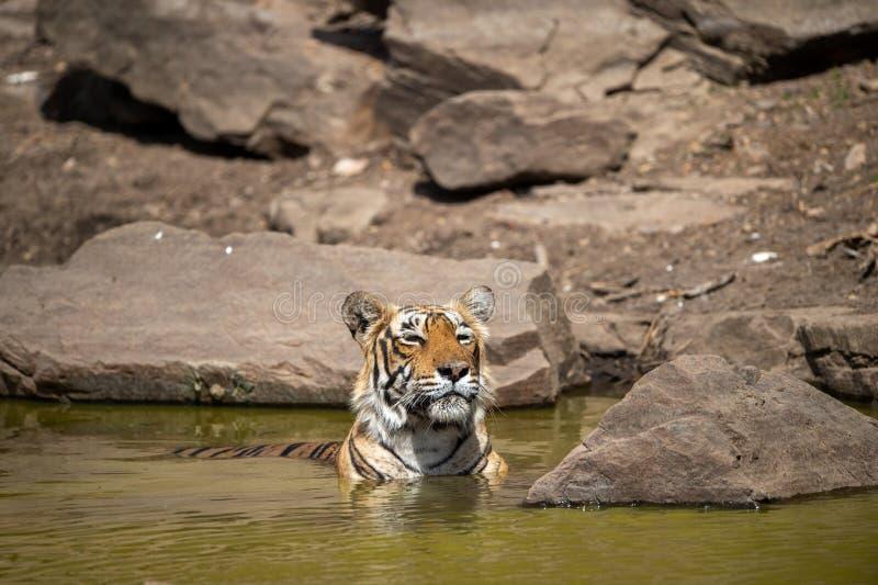 Tigre femenino real de Bengala que descansa en el cuerpo del agua de la selva en el ranthambore foto de archivo