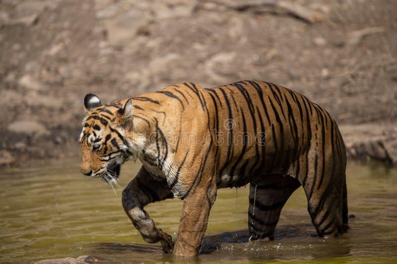 Tigre femenino real de Bengala que descansa en el cuerpo del agua de la selva en el ranthambore imagen de archivo
