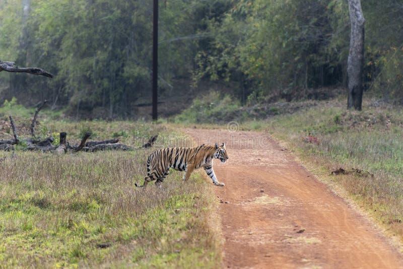 Tigre femmina timida che attraversa la strada alla maharashtra della riserva della tigre di Tadoba, India immagini stock libere da diritti